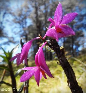 Orchid in Lawu